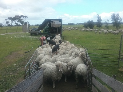 Keeping the sheep up to the crutchers in the trailer