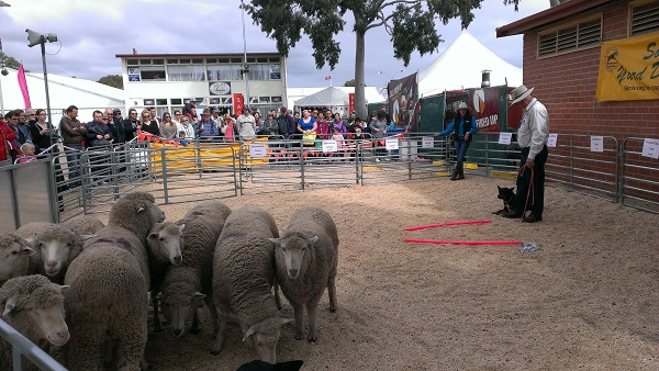 Washpool Wilber with Rex about to demonstrate skills at the 2014 Royal Adelaide show.